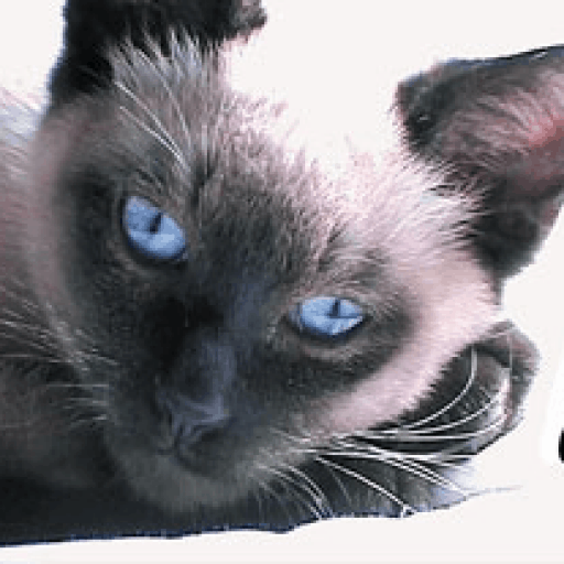 Kittentanz – Traditional Siamese